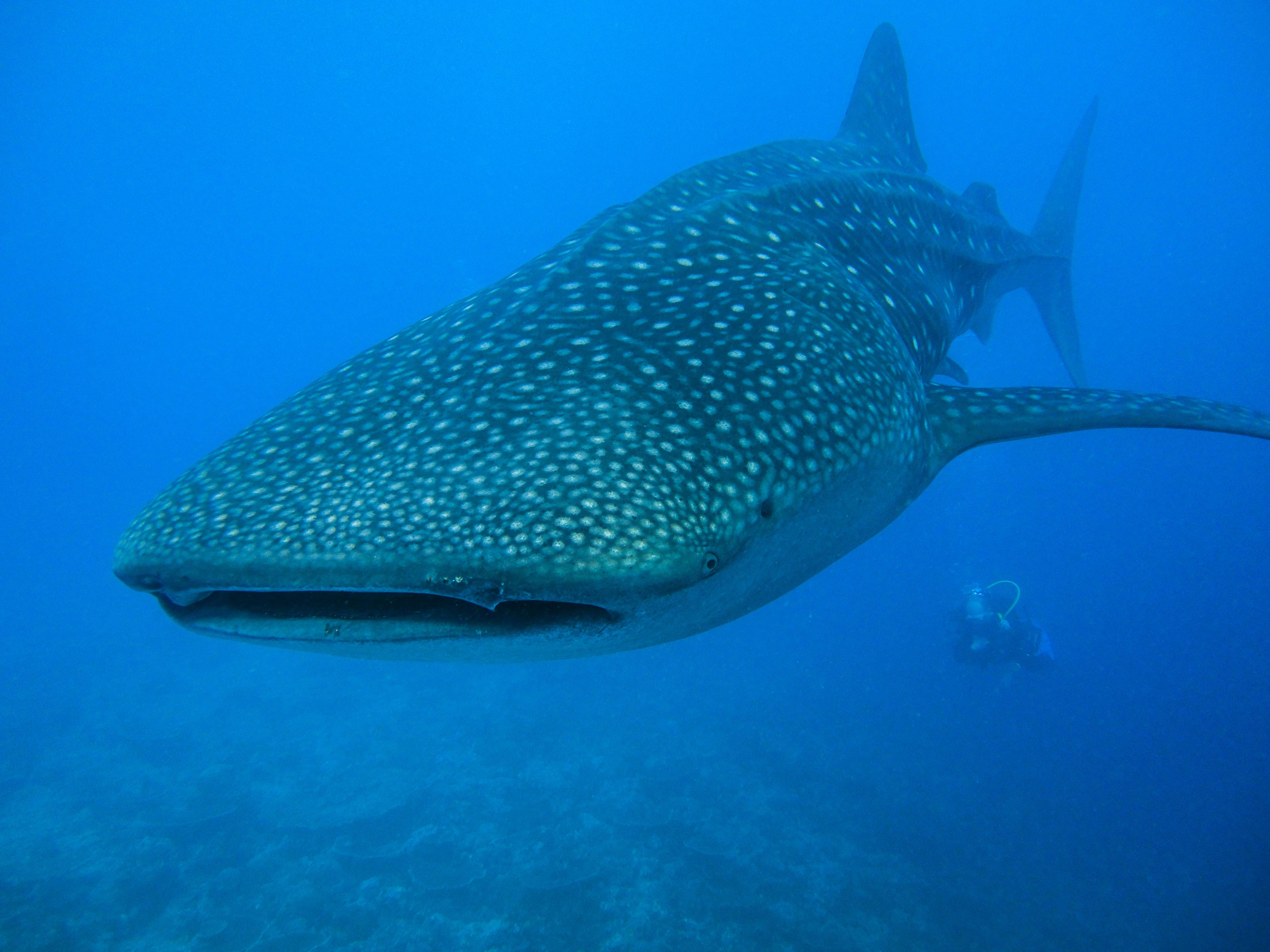 Vacation with whale shark at Maldives on a budget