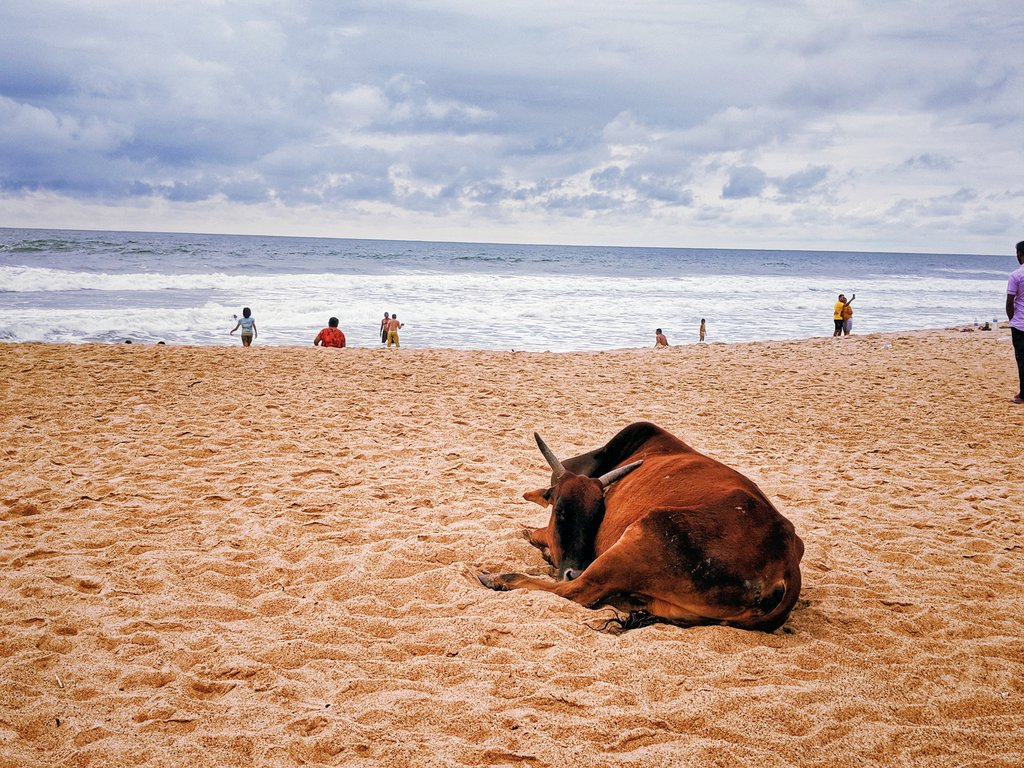 Cows on the baga beach: only in India: strange things about Goa