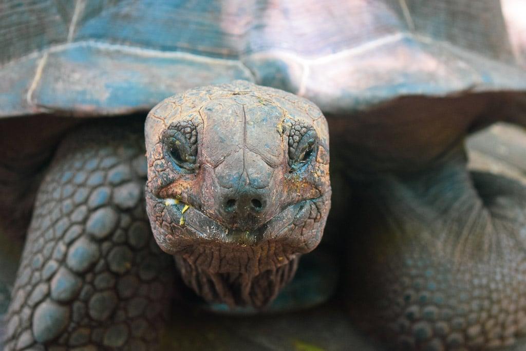 Giant Tortoise at prison island, zanzibar