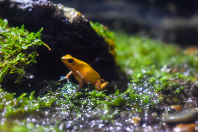 Golden Poison Frog Thailand