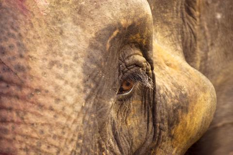Asiatic Elephants from Kaziranga