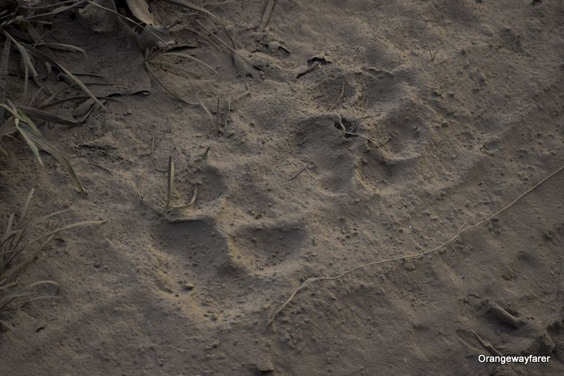 Tiger Paw at Kaziranga