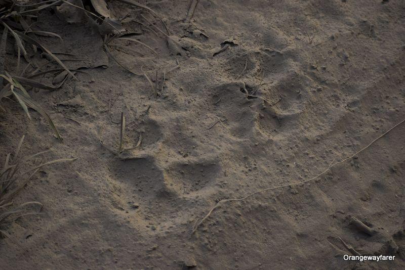 Tiger Paw at Kaziranga