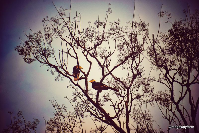 Hornbill sanctuary in India Dandeli