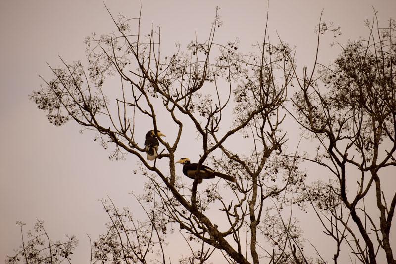Birding at Dandeli. Hornbills at Dandeli.