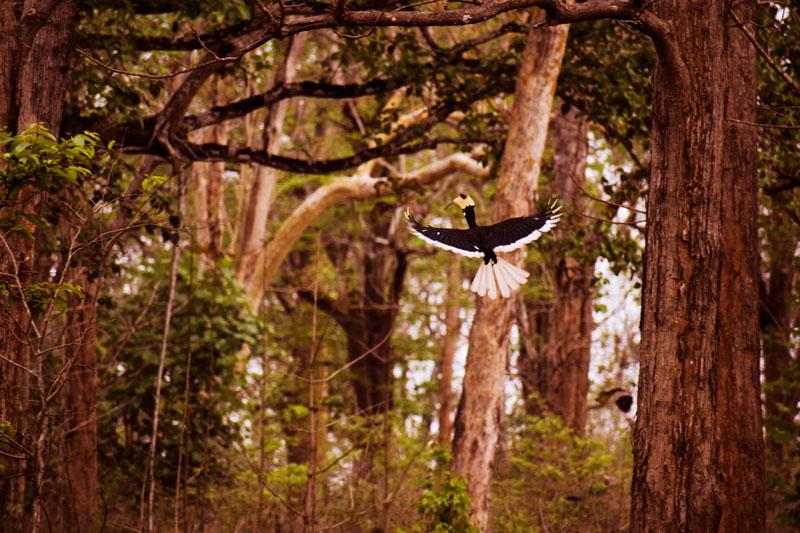 Hornbills at Dandeli. Flying hornbill. Hornbill plight. birding in India. Hornbills in India.