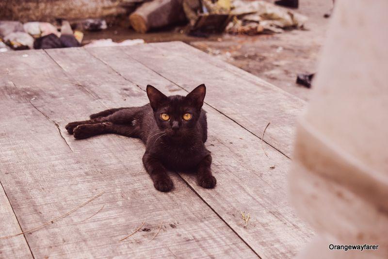 Black Cat Bengal Evil