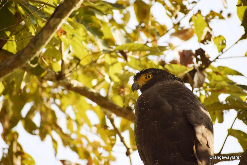 eagle Kaziranga Birding