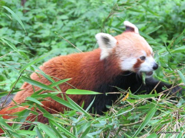 Red Panda, Darjeeling