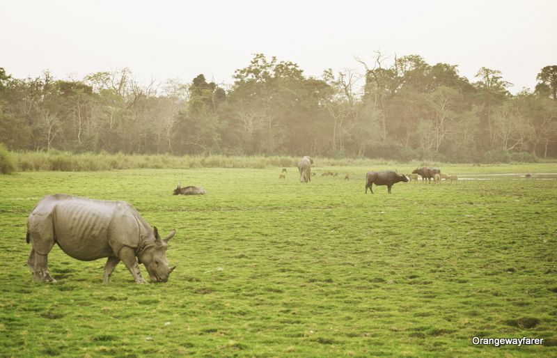 Rhino buffalo and elephant at one place