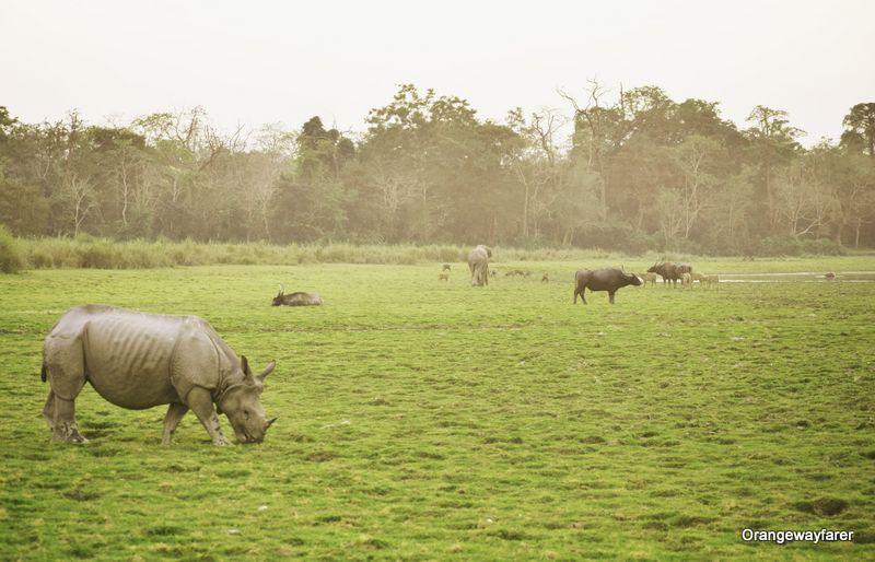 Rhino buffalo and elephant at one place