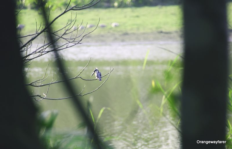 Kingfisher at Kaziranga