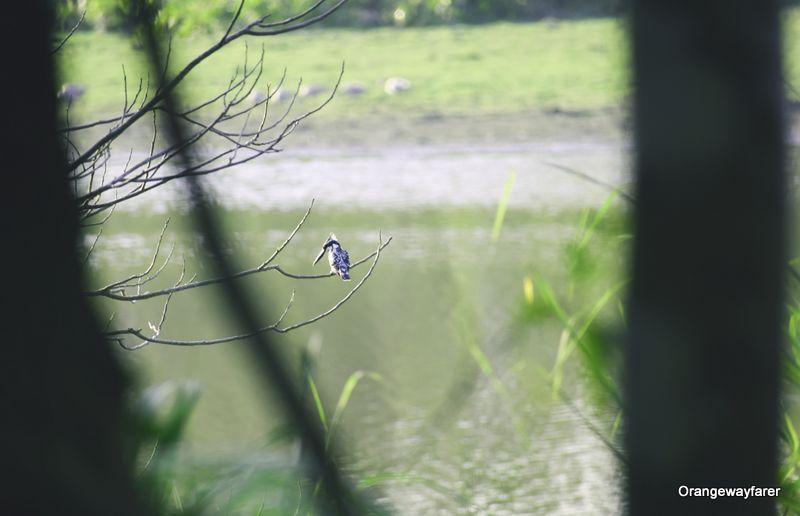 Kingfisher at Kaziranga