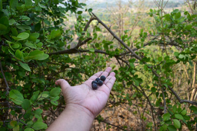 Berries collected from forest at Purushwadi