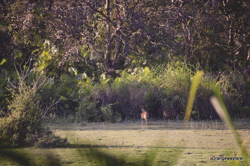 Tiger call at Kaziranga
