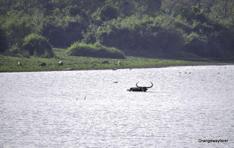 Wild Asiatic Water buffalo India