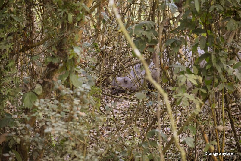 One horned rhino sleeping: Travel guide to Kaziranga
