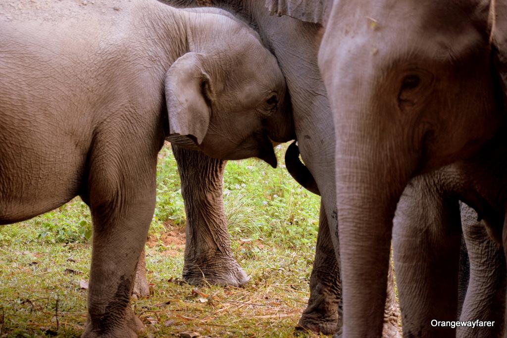 Elephant at Kaziranga