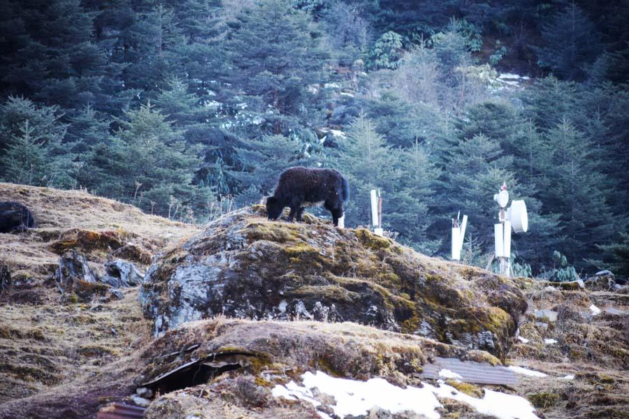 A yak at Sela Pass