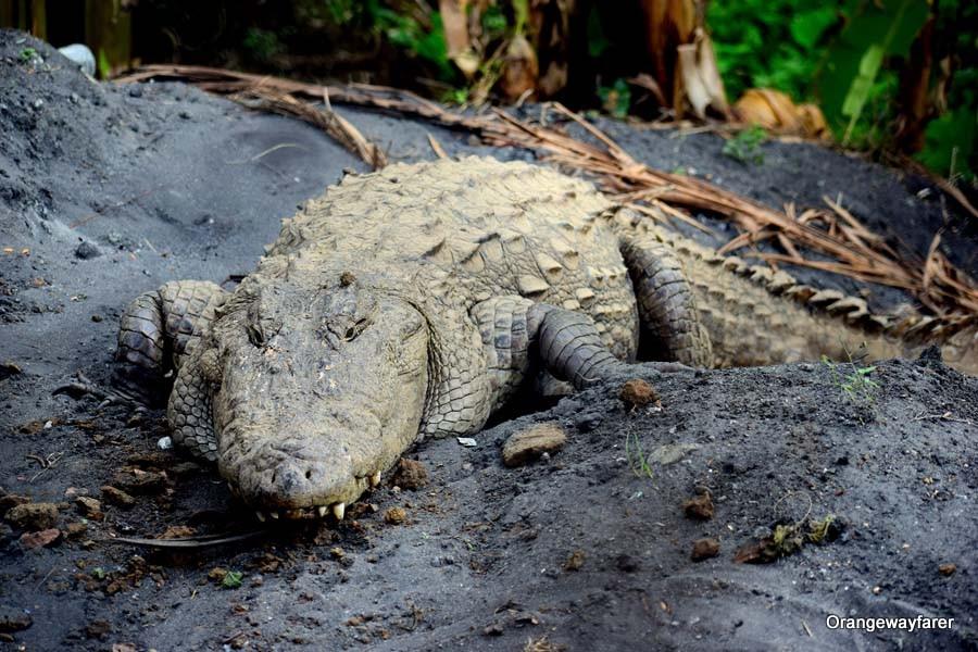 Crocodiles of Dandeli, basking by the Kali river bank