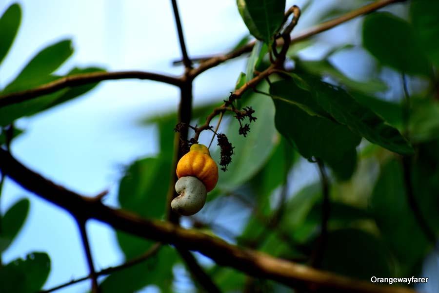 a Cashew tree in the courtyard of Dandeli Jungle camp