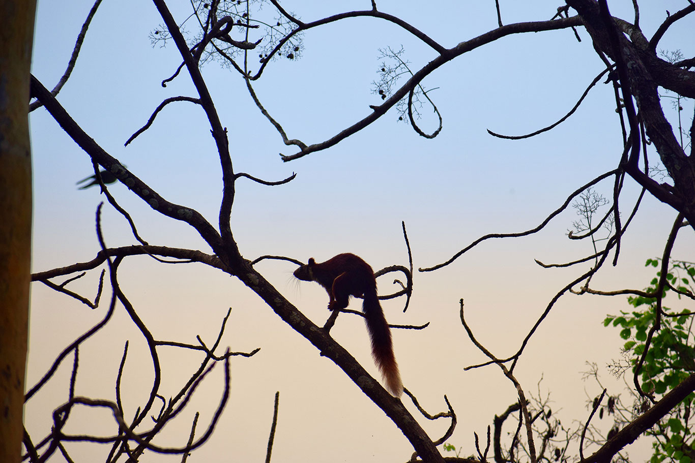 Giant Malabar Squirrel. The malabar flying squirell jumps from one branch to another.