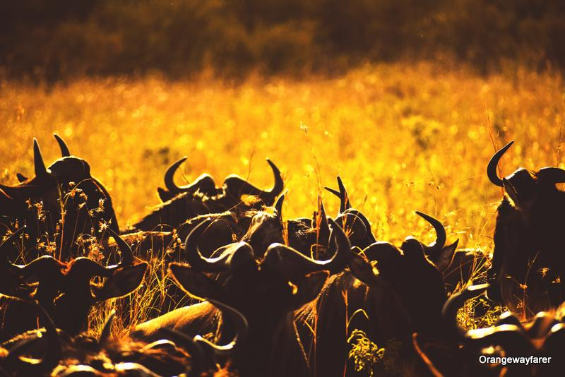 The great migration of kenya