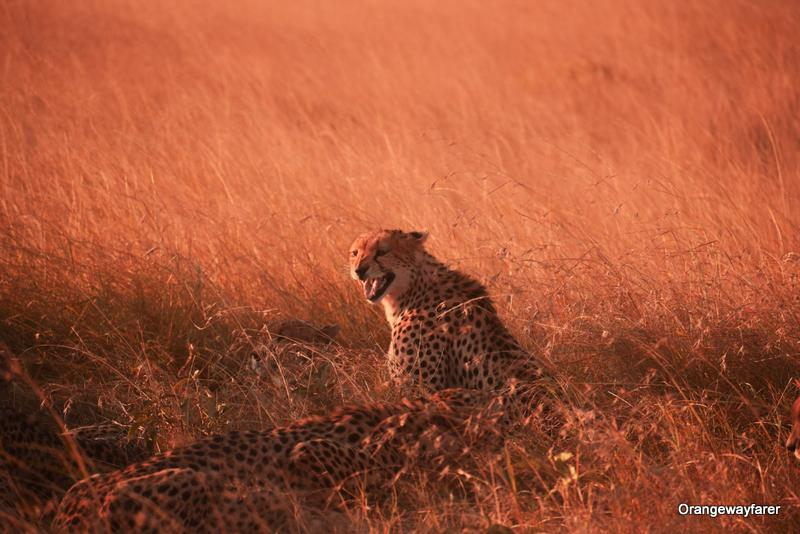 Cheetah at masai mara