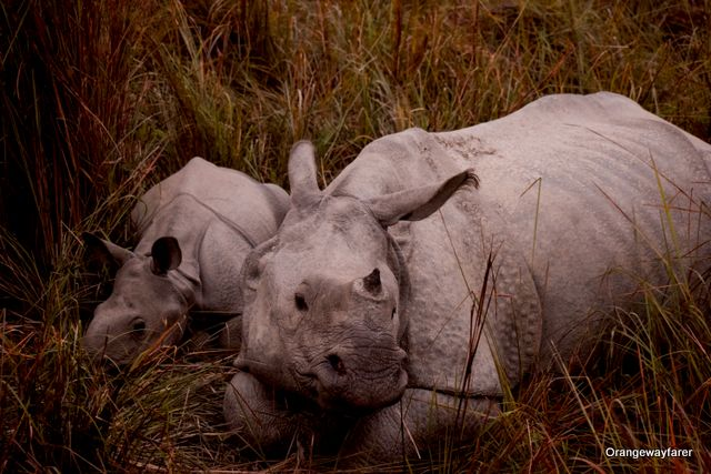 Rhino mother and calf at Kaziranga