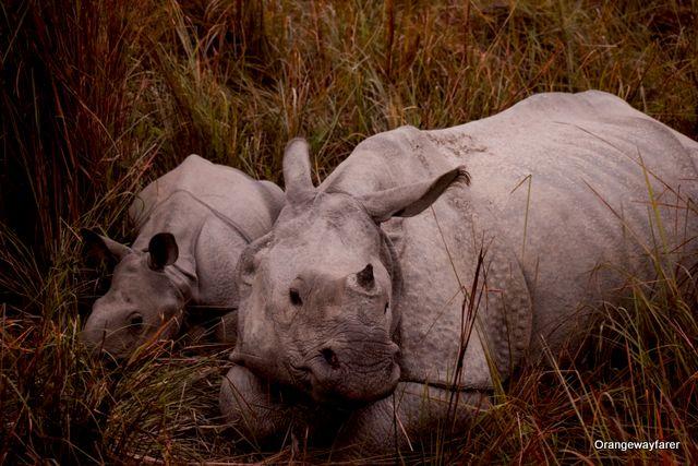 Rhino mother and calf at Kaziranga