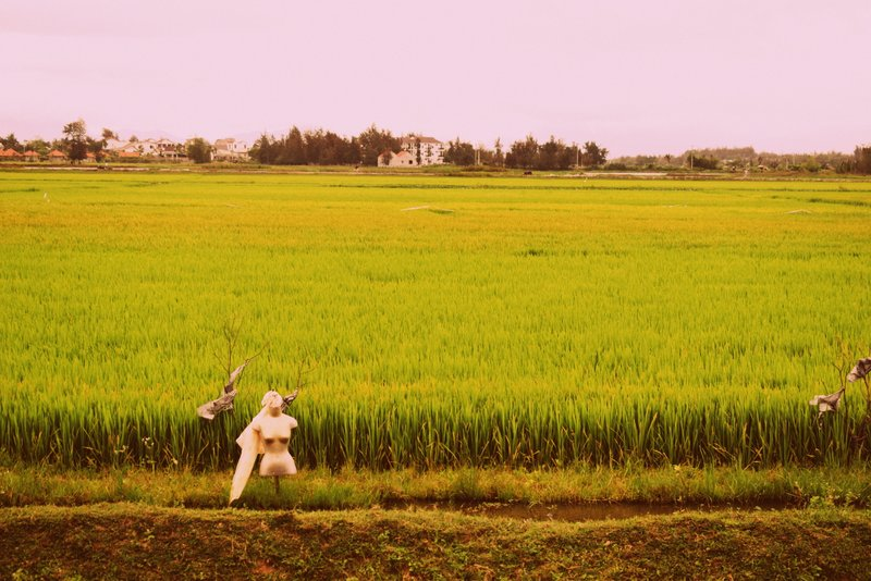 Rice Paddy fields in Hoi An