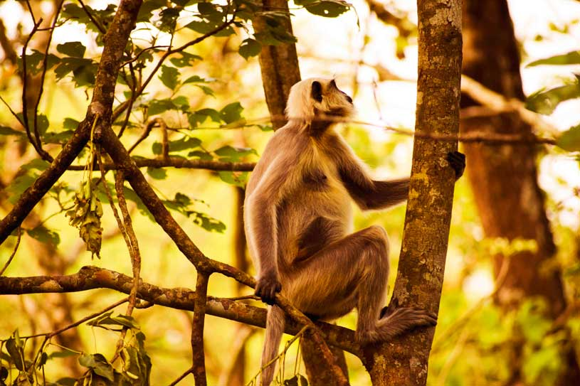 Hanuman Langur in Chitwan National Park