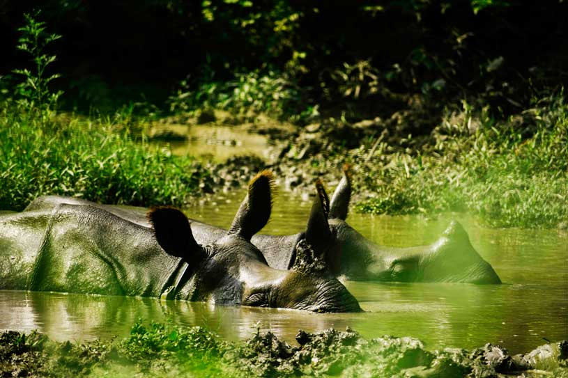 One horned rhino of Chitwan National park from Jungle walking safari