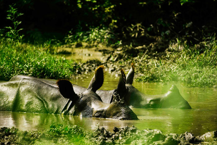 one horned rhino at Chitwan National Park Nepal