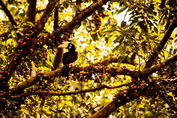 Pied Piper Hornbill, Nepal