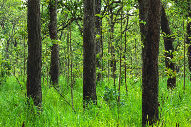 Sal forest of Chitwan National park