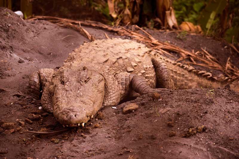 Crocodile of kali river at Dandeli. Things to do in Dandeli.