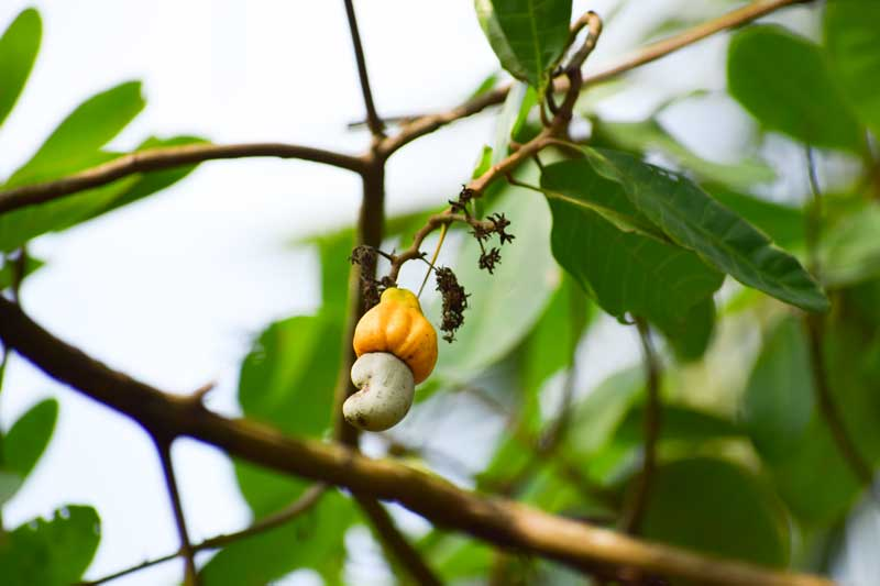 cashew tree at Dandeli