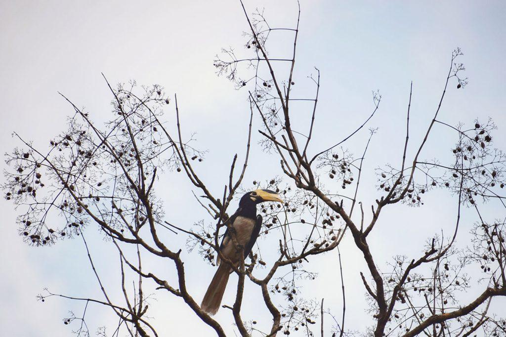 hornbill at Dandeli