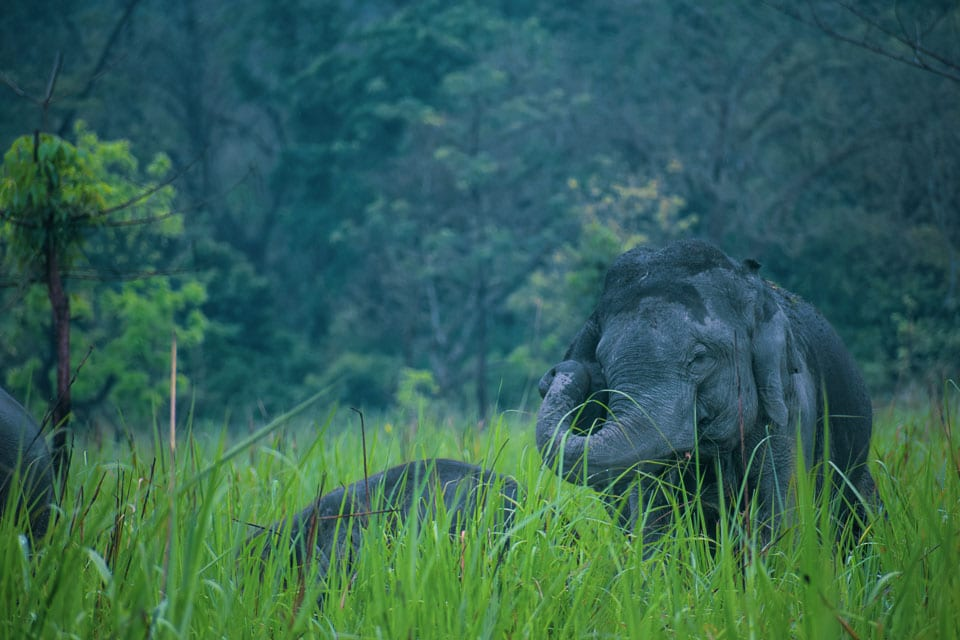Safari at the Manas National Park and spotting Female elephants in Asia
