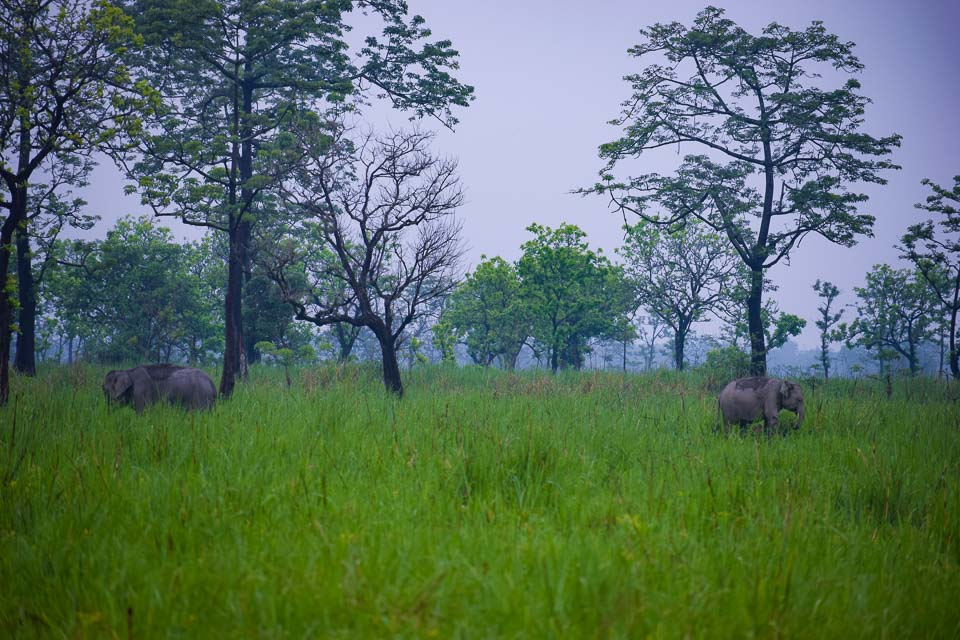 dancing elephants at manas National park India