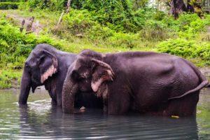 Asiatic elephants at the Manas National Park Assam. Bathing with Indian elephants, Assam