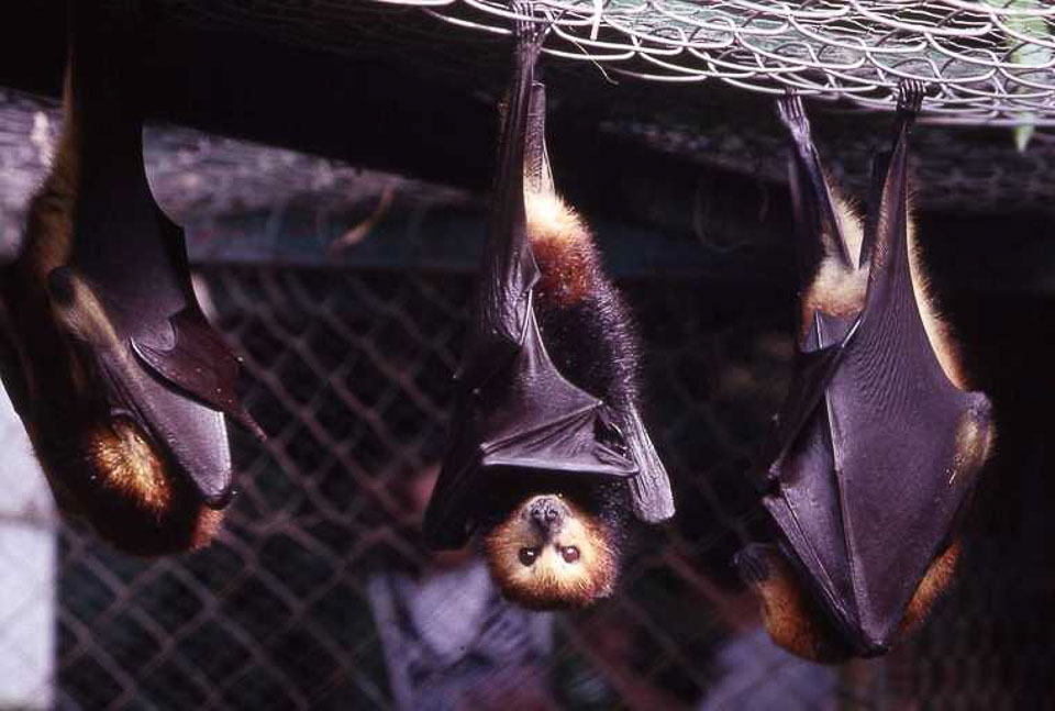 Fruit bats of Mauritius