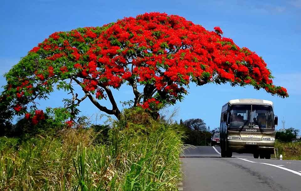 flame tree of Mauritius
