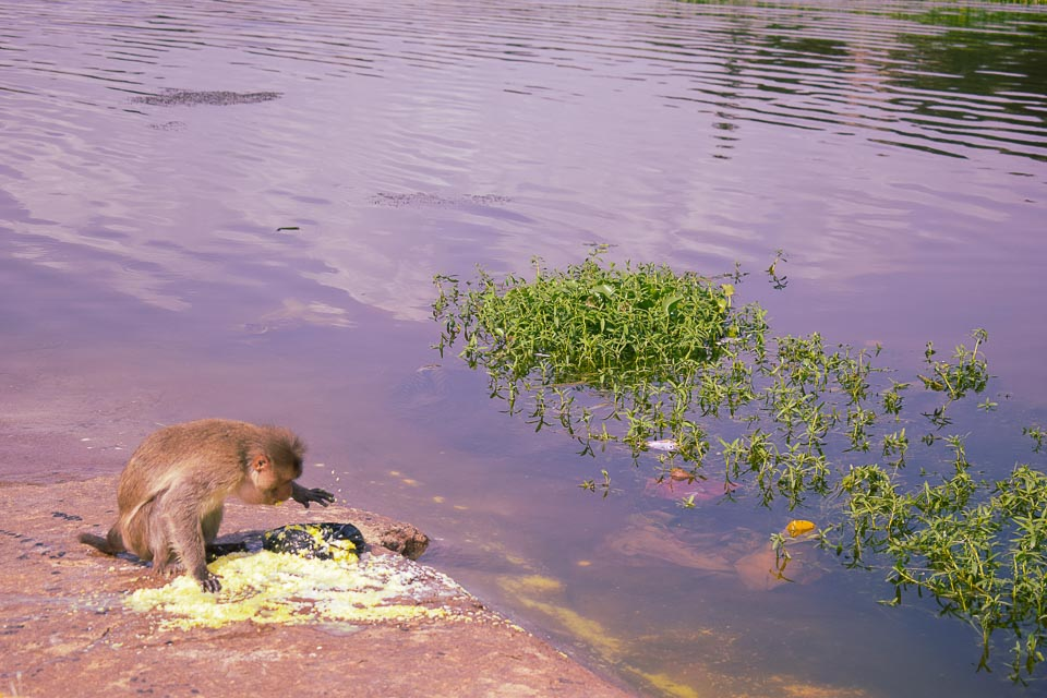Monkey in hampi: human touches in the culture of Hampi