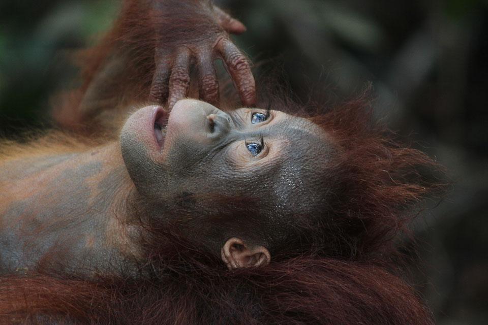 Orangutan: national parks in Malaysia, offbeat destinations